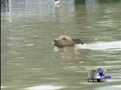 Dog swimming in flooded area